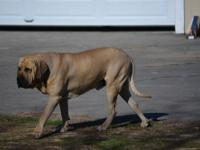 Litter of Fila Brasileiro puppies born October 18,