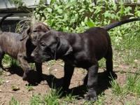 Drop dead gorgeous black brindle male left. Loves the