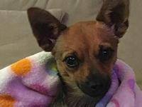 Finch's story Finch is a 10-12 month old male Chi mix