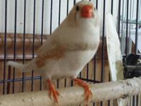 Finch - Zebra Finches - Small - Adult - Male - Bird We