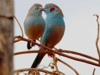 beautiful playful Cordon blue with cherry cheeks 8