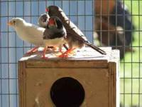 i have plenty of zebra finches great little pets for