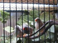 Finches, Zebra & & Society for rehoming. These little