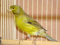 For sale Spanish Timbrado Canaries: 10 male singers,