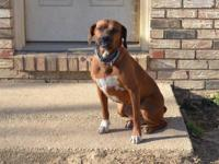 Finlee is a beautiful 5 year old female boxer mix.