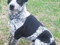 Meet Finn, he is a very handsome cattle dog male with a