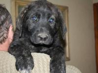 FINNEGAN is a dark brindle with a black muzzle. When