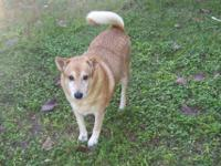 Finnish Spitz - Honey - Medium - Adult - Female - Dog