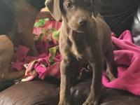 Fiona is an 11 wk old lab mix.  $400 adoption fee.  IF
