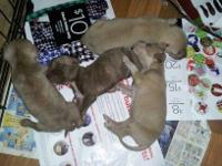 We have a litter of Pitbull puppies. The dad is
