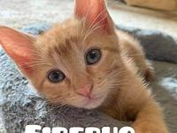 My story Firebug is a female Orange Tabby kitten who