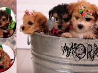 First Generation Morkie puppies are here!! And they are