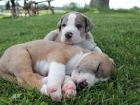 Unique first generation St. Dane puppies expected the