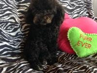 Yorkipoo litter due March 16,2015. I am presently