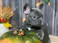 First Class Male/Females French Bulldog puppies
