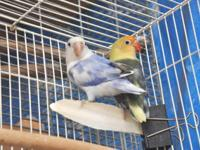 Fischer Love Birds for Sale. YellowFace & White Head