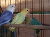 I have 8 Fischers Lovebirds for sale. Sables, violets,