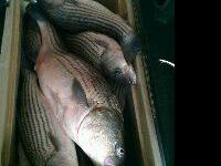 Guided striper fishing trips on lake texoma for only