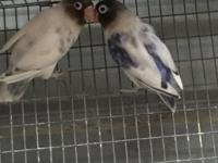 I have several love birds for sale yellow face fisher