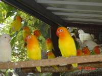 I have beautiful fisher lovebirds for sale, i have