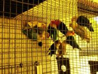 Hello I have for sale a group of fisher lovebirds they