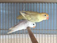 I have these Fischer lovebirds. Price depend of colors.
