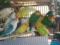 I have a few Fischer Lovebirds for sale. Prices start