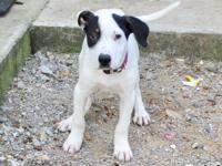 Fitch is a 3 month old hound and bull dog mix male