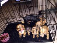 I have five beautiful miniature dachshund puppies that