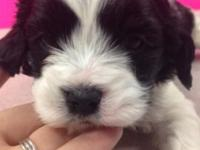We have 5 cuddly and adorable Cavapoo young puppies for