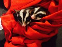 I am selling five sugar gliders! They are brother and
