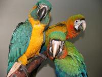 Hybrid macaws are bred for color, and the Flame Macaw
