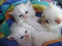 I have 4 awesome little Himalayan Kittens. They have