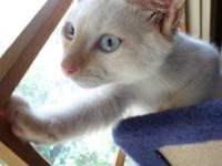 I have a beautiful flame-point male Siamese for sale. I
