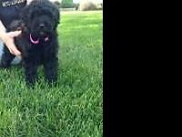 This cross breed of a Bouvier des Flanders and a