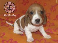 Wilson Acres has an adorable Red Piebald Dachshund