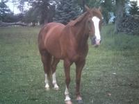 A Sweet Smart Gelding who is a Very special horse who