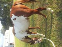 Beautiful flashy overo stud for sale. He will be 3 in