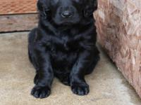 Golden Retriever/Flat Coated Retriever Hybrid Puppies.