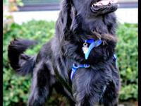 Flat - Coated Retriever - Steven - Large - Young - Male
