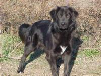 Flat - Coated Retriever - Teddy - Medium - Young - Male