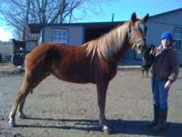 Harmony is a four year old, 15.3 hand mare that is very