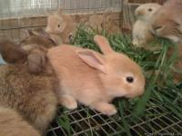 Flemish bunnies for sale. These rabbits are in a