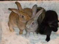 GENTLE GIANTS.. LOCAL RABBITRY HAS AVAILABLE TWO