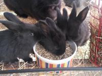 We have 6 gorgeous black Flemish bunnies ready for new