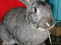 Flemish Giant - Benny - Extra Large - Adult - Male -