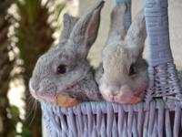 I have available, amazing purebred, pedigreed Flemish