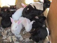 Flemish giant bunnies for sale that are ready for their