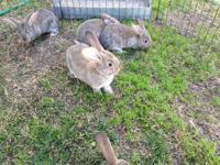 I have 10 pure breed fawn flemish giant baby bunny