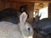 Adorable litter of flemish giant bunnies ready for